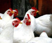 معدوم شدن بیش از ۲۴ میلیون مرغ به علت شیوع ویروس اچ فایو ان سیکس آنفولانزای مرغی